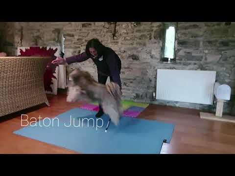 Tibetan Terrier Tricks- Zac Intermediate Trick Title