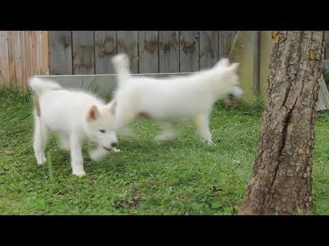 White Alaskan Malamute Puppies for sale
