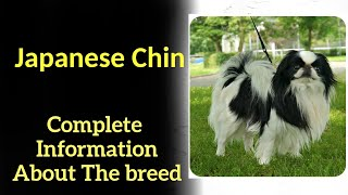 Japanese Chin. Pros and Cons, Price, How to choose, Facts, Care, History