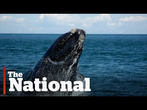 Ottawa announces nautical slowdown measures to stop whale deaths in Gulf of St. Lawrence