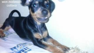 Мой любимый щенок Кристиан.:):):)$$$ My favourite puppy Christian.:):):) $$$