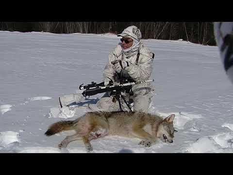 Récolte un coyote à 330 verges calibre 204