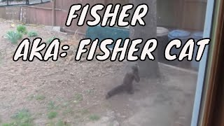 1st time visiting my backyard ~ Fisher ~ AKA: Fisher Cat ~ Totem Animal