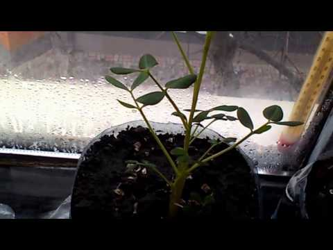 Вопрос: Как вырастить арахис?