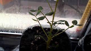 видео Как вырастить АРАХИС дома.  » Всё о цветах и садоводстве