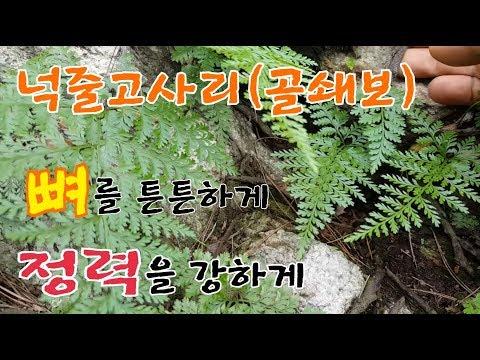 한국의 산약초   4.넉줄고사리(골쇄보)         �