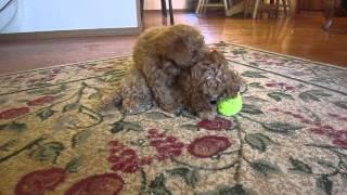 Toy Poodle For Sale In Spokane Washington