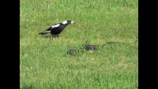Magpies and Snake