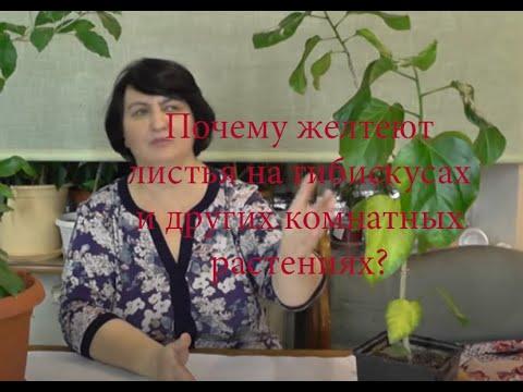 Почему желтеют листья на Гибискусах и других комнатных растениях? видео Ольги Пряниковой