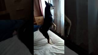 Собака в окно смотряка