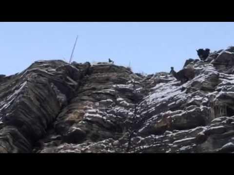 Собаки держут кабаргу, на скале
