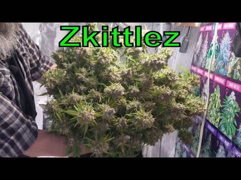 Zkittlez Autoflower Harvest and Topping The AutoPot Grow. #MarsHydro #ILGM