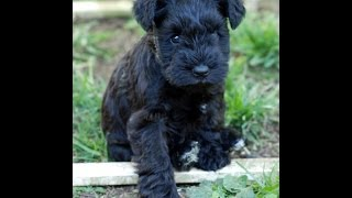 Miniature Schnauzer Puppy For Sale Akc Oregon