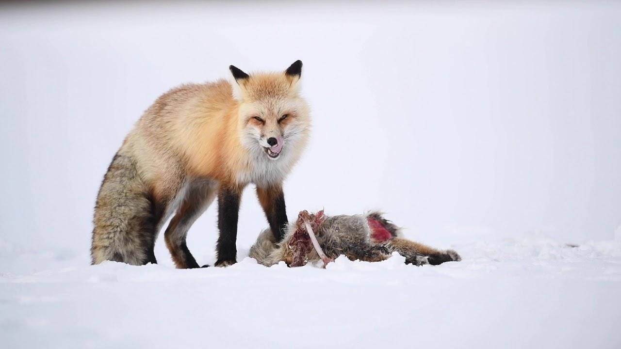 Fox eats another Fox! A wildlife photography vlog.