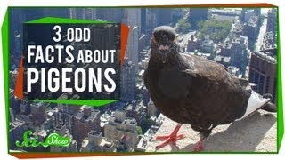 3 Odd Facts About Pigeons
