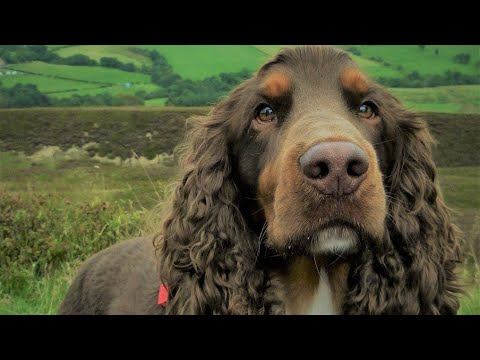 Top 5 Points on Field Spaniel In Hindi | Dog Facts in Hindi | Animal Channel Hindi