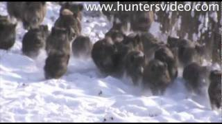 Repeat youtube video Wild Boar Fever 2 - Hunters Video