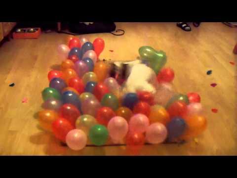 Mila (Jack Russell Terrier) vs 100 balloons in 24s.!