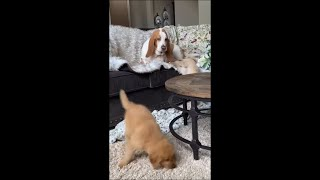 Dog Yelling at Puppy for Not Wanting to Play as He Lays on Couch