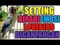 Cara Setting Birahi Dan Emosi Lovebird Digantangan Wajib Seimbang Biar Tenang  Mp3 - Mp4 Download