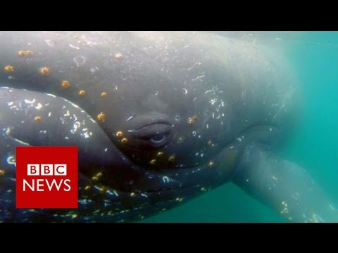 Whale's eye view: Footage reveals hidden whale world - BBC News