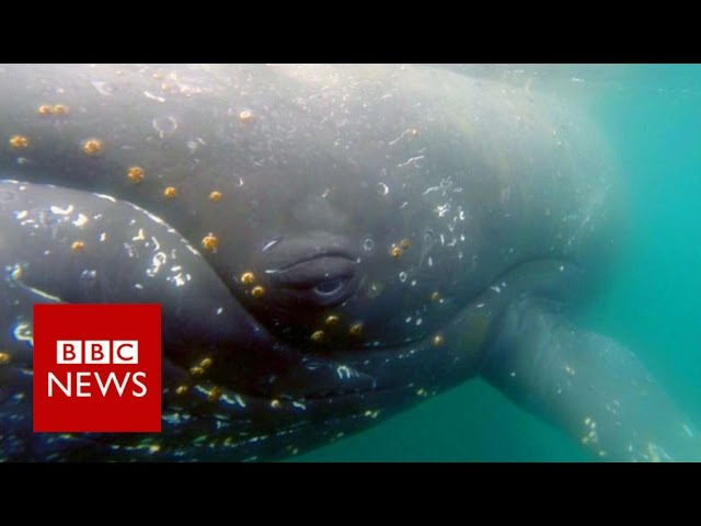 whale-s-eye-view-footage-reveals-hidden-whale-world-bbc-news