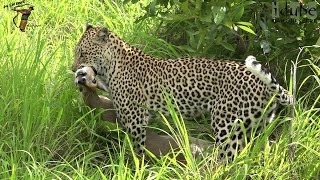 Leopard Catches A Duiker!  Leap Of Leopards: Mother And Cubs (22)