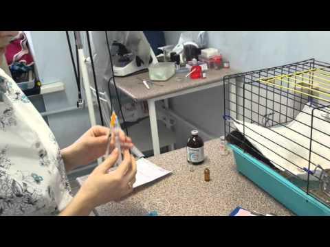 Как сделать укол крысе в холку