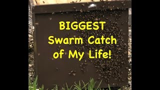BIGGEST Swarm Catch of My Life - Episode 9 of Swarm Trapping VLOG