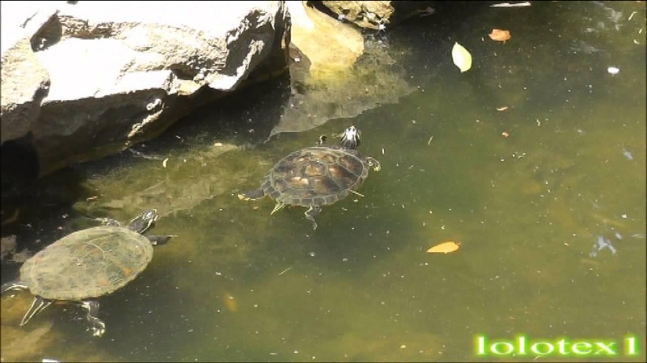 Bellissime tartarughe laghetto giardino pubblico for Tartarughe nel laghetto