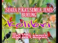 Pikat Semua Jenis Burung Kolibri  Paling Ampuh  Mp3 - Mp4 Download