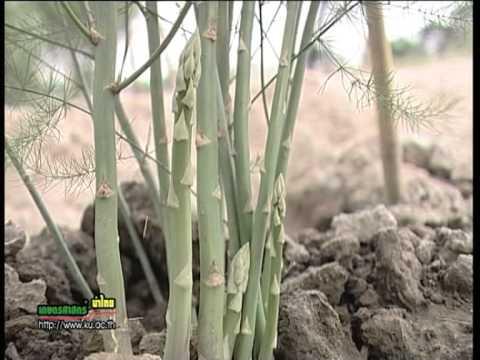 55 23 สินทรัพย์งานวิจัย การนำหน่อไม้ฝรั่งที่ได้จากการเพาะเลี้ยงเนื่อเยื่อมาปลูก