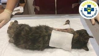 Вынужденная Операция по Удалению Хвоста и Лапы у Кошки