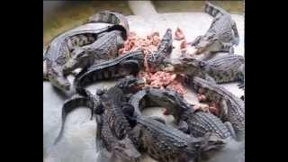 Pattaya Crocodile Farm Крокодиловая ферма Шоу крокодилов