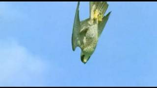 Repeat youtube video Pigeon vs Peregrine Falcon - Animals: The Inside Story - BBC