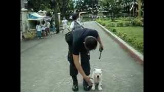 Basic Obedience American X English Bulldog