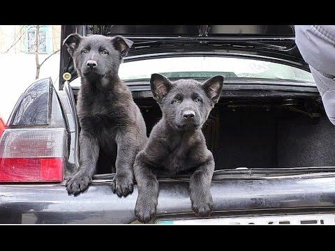 МОЩНАЯ ОХРАНА! Strong security. Puppies black German Shepherd. Щенки Черной Немецкой Овчарки.Одесса.
