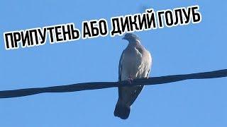 Припутень. Дикий голуб.(, 2017-07-21T14:30:01.000Z)