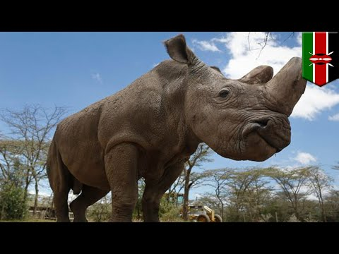 Save the rhino: Scientists plan to revive the northern white rhino subspecies with IVF - TomoNews