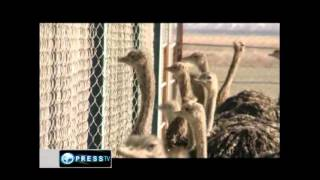 Ostrich farming in Iran .پرورش شتر مرغ در ایران,Food processing industry in Iran