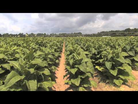 Tobacco Still A Viable Crop For Some Georgia Farmers