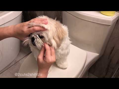 [shih tzu] momo's daily cleaning routine before bed time