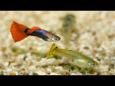 Top 15 Most Beautiful Guppy Fish | Guppy Fish Names