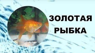 Золотая рыбка. Содержание, уход, размножение в аквариуме.