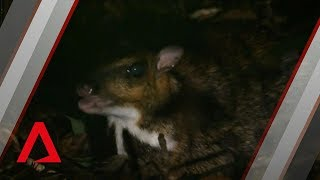 Singapore's surprising wild life | Filming the elusive Greater Mousedeer | Wild City: Forest Life