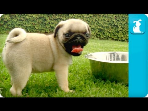 Puppy Love Pug Puppies Youtube