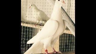 Бакинские бойные голуби / Baku Tumblers  ( Закир // Краснодар, Россия )
