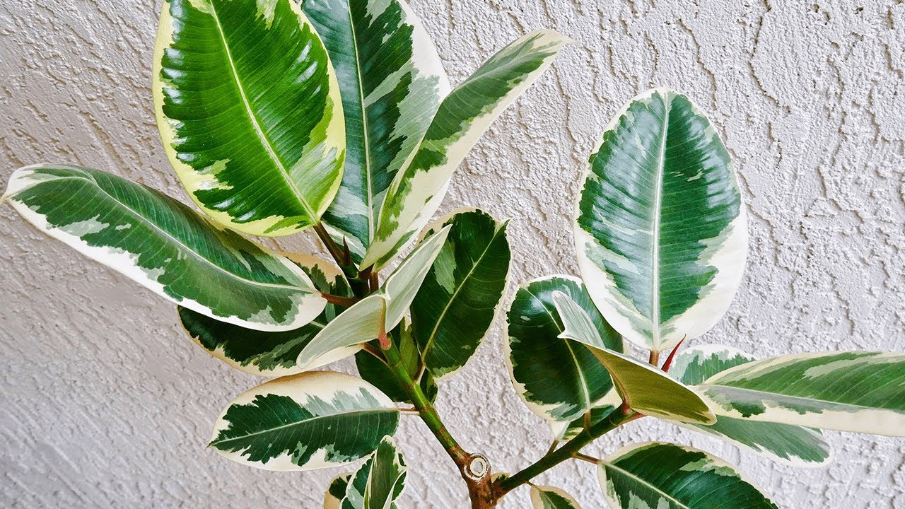 How To Make A Rubber Tree Plant Ficus Elastica Branch Out Joy Us Garden