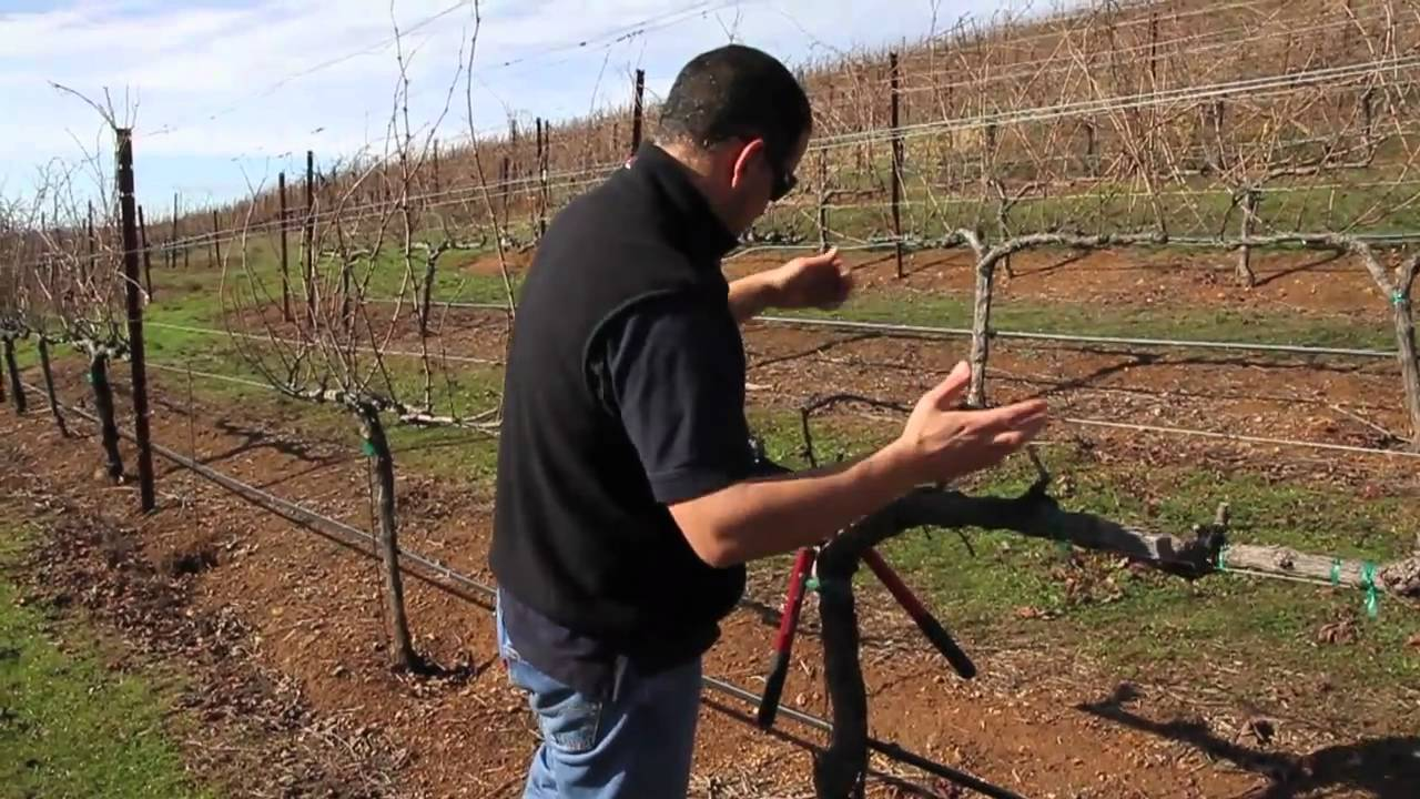 Double Guyot And Cordon Pruning Lesson Youtube