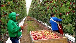 Gambar cover cosecha de manzana, apple harvest in washington united states
